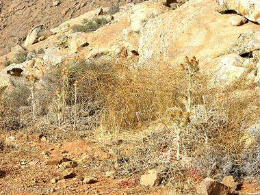 fuerteventura bilder pflanzen und tiere fuerteventura pflanzen 06