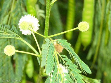 fuerteventura bilder pflanzen und tiere fuerteventura pflanzen 11