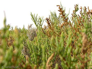 fuerteventura bilder pflanzen und tiere fuerteventura pflanzen 14