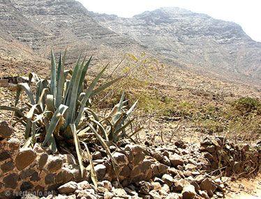 fuerteventura bilder pflanzen und tiere fuerteventura pflanzen 28