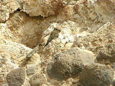 fuerteventura bilder pflanzen und tiere fuerteventura streifenhoernchen 02